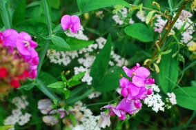 sweet peas and yarrow
