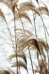 snowy grasses